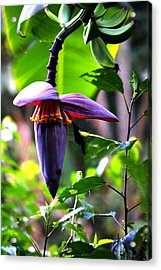 Hummingbird And Banana Tree Acrylic Print