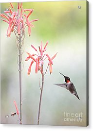 Hummingbird And Bee In Company Acrylic Print by Wayne Nielsen