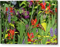 Hummingbird And Crocosmia Lucifer Acrylic Print
