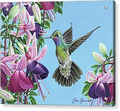 Hummingbird And Fuchsias Acrylic Print