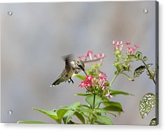 Hummingbird And Penta Acrylic Print