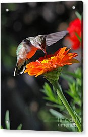 Hummingbird And Zinnia Acrylic Print