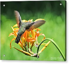 Hummingbird At Lunchtime Acrylic Print by David Perry Lawrence