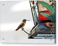 Hummingbird At Rest Acrylic Print by Adria Trail