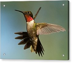 Hummingbird Beauty Acrylic Print