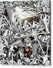 Hummingbird Bee Undone Acrylic Print by Yolanda Raker