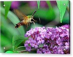 Hummingbird Clearwing Moth Acrylic Print by Gary Keesler