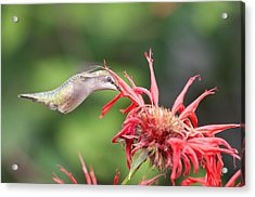 Hummingbird Defying Gravity Acrylic Print