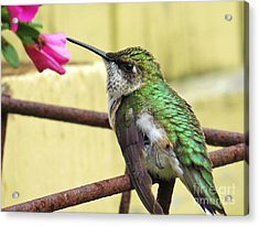 Hummingbird Details 4 Acrylic Print