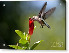 Hummingbird Dipping Acrylic Print by Debbie Green