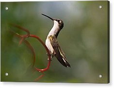 Hummingbird Eloquent Appeal Acrylic Print by Christina Rollo