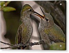 Hummingbird Feeding Baby Acrylic Print
