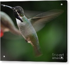 Acrylic Print featuring the photograph Hummingbird Male Anna In Flight Over Perch by Jay Milo