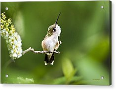 Acrylic Print featuring the photograph Hummingbird Flexibility by Christina Rollo