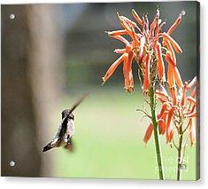 Hummingbird Flight Orange - Change In Path Of Flight Acrylic Print by Wayne Nielsen
