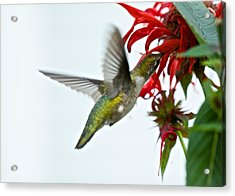 Hummingbird Focused On The Scarlet Bee Balm Acrylic Print