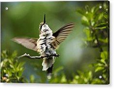 Hummingbird Happy Dance Acrylic Print by Christina Rollo