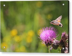 Acrylic Print featuring the photograph Hummingbird Hawk-moth - Macroglossum Stellatarum by Jivko Nakev