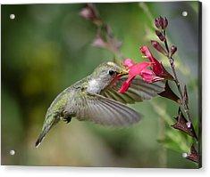 Hummingbird Heaven  Acrylic Print by Saija  Lehtonen