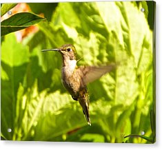 Hummingbird Highlighted By The Sun Acrylic Print