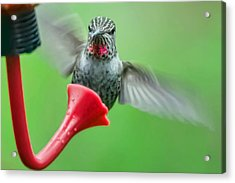 Hummingbird Houdini Acrylic Print by Kenneth Haley
