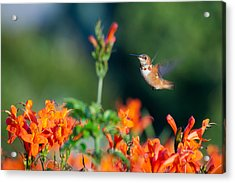 Hummingbird IIi Acrylic Print
