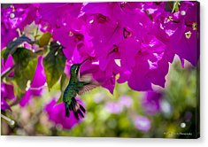 Acrylic Print featuring the photograph Hummingbird In A Garden Paradise by Phil Abrams