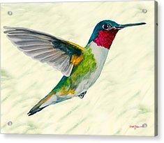 Da103 Broadtail Hummingbird Daniel Adams Acrylic Print