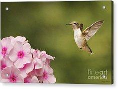 Hummingbird In Flight Acrylic Print
