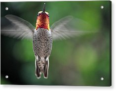 Acrylic Print featuring the photograph Hummingbird In Flight Male Anna by Jay Milo