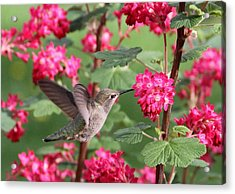 Hummingbird In The Flowering Currant Acrylic Print