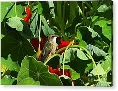 Acrylic Print featuring the photograph Hummingbird In The Nasturtiums by Marjorie Imbeau