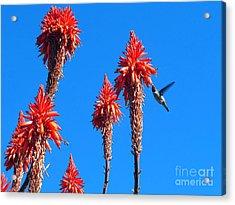 Hummingbird Acrylic Print by Kelly Holm