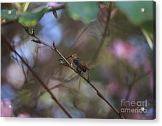 Acrylic Print featuring the photograph Hummingbird by Kevin Ashley