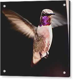 Acrylic Print featuring the photograph Hummingbird Male Anna In Flight  by Jay Milo