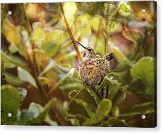 Hummingbird Mom In Nest Acrylic Print by Angela A Stanton