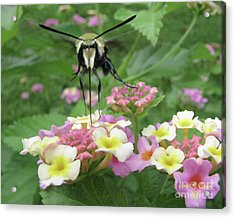 Acrylic Print featuring the photograph Hummingbird Moth by Donna Brown
