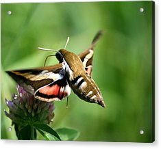 Hummingbird Moth From Behind Acrylic Print