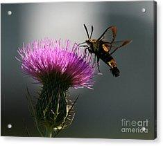 Hummingbird Moth II Acrylic Print by Douglas Stucky