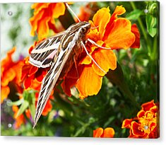 Hummingbird Moth On A Marigold Flower Acrylic Print