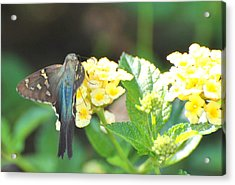 Acrylic Print featuring the photograph Hummingbird Moth On Yellow Flowers by Jodi Terracina