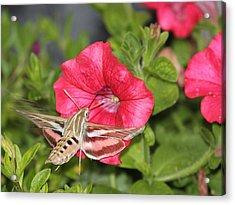 Hummingbird Moth Acrylic Print by Tiffany Erdman