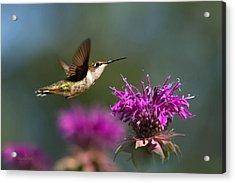 Hummingbird Moving Along Acrylic Print by Christina Rollo