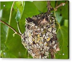 Hummingbird Nest 2 Acrylic Print