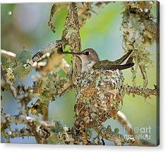 Hummingbird Nesting Acrylic Print