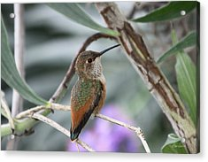Hummingbird On A Branch Acrylic Print