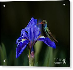 Hummingbird On A Mexican Blue Exotic Flower Acrylic Print