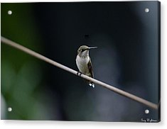 Acrylic Print featuring the photograph Hummingbird On A Wire by Gary Wightman