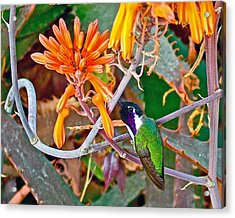 Hummingbird On Aloe In Living Desert In Palm Desert-california Acrylic Print by Ruth Hager