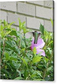 Hummingbird On Althea Acrylic Print